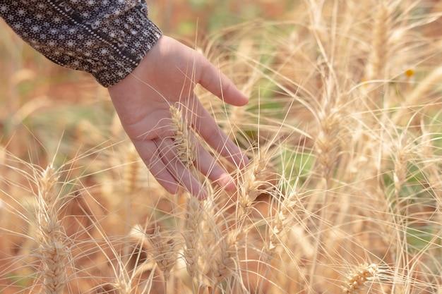 Suave e desfocar fundo bokeh mulher mão tocar ouvidos de trigo no campo
