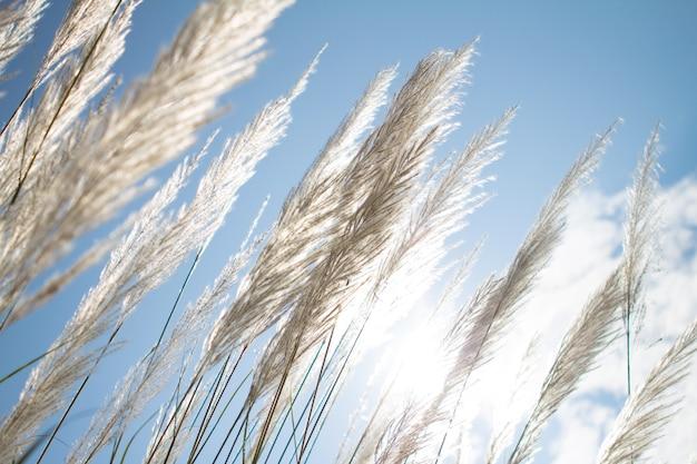 Suavidade branca pena grama com céu azul
