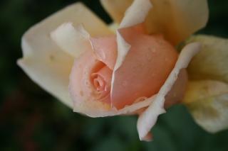 Subiu rubor rosa