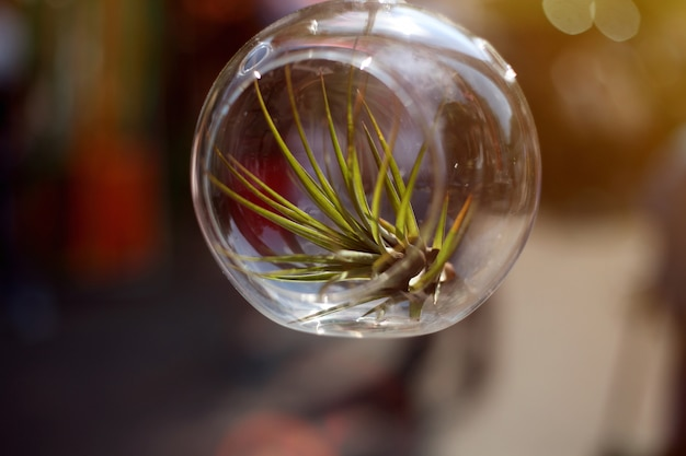 Suculenta crescendo no pote de vidro.