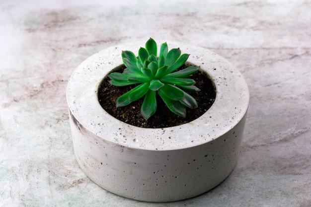 Suculenta em um fundo de pedra de pote de concreto
