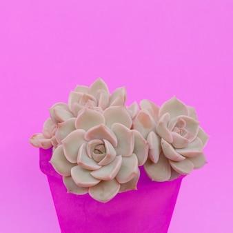 Suculentas de cactos em uma panela. plantas no conceito de moda rosa