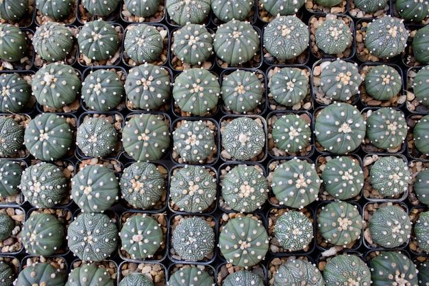 Suculentas diferentes e cactus em potes pretos, sobrecarga ou vista superior