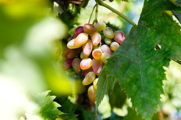Suculento cacho de uvas maduras na vinha em um dia ensolarado