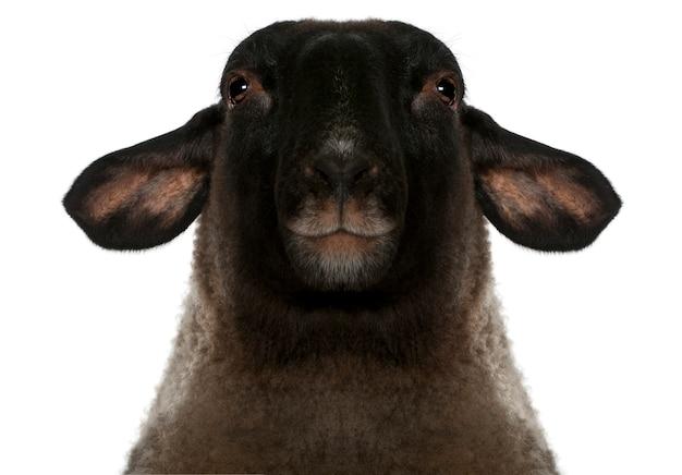 Suffolk feminino, ovelha - ovis aries, isolado no branco