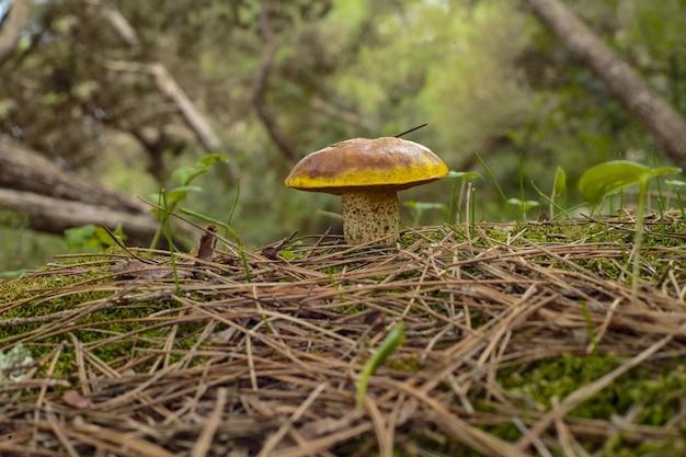 Suillus collinitus pinho bolete fungo