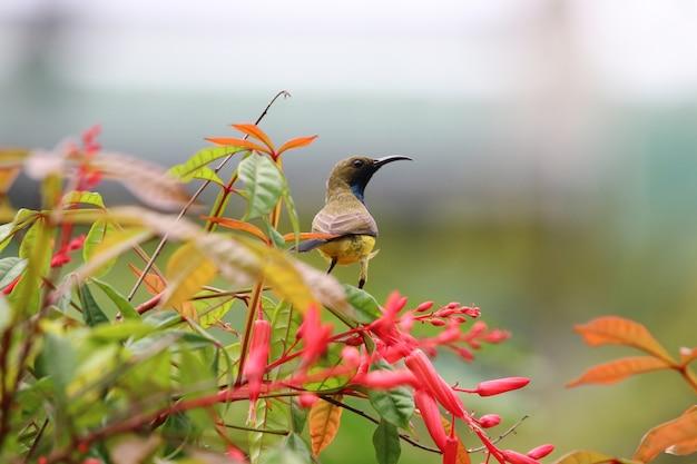 Sunbird amarelo-inchado pássaro colorido animais vida selvagem segurando na planta