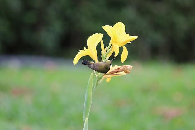 Sunbird amarelo-inchado segurando amarelo canna bonito flores no parque