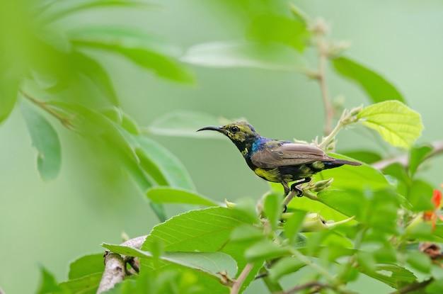 Sunbird apoiado em olive na filial na natureza