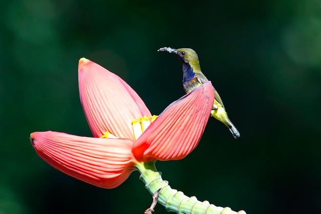 Sunbird azeitona-suportada cinnyris jugularis male birds da tailândia