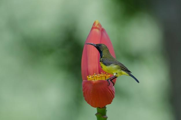 Sunbird azeitona-suportada em uma flor da banana