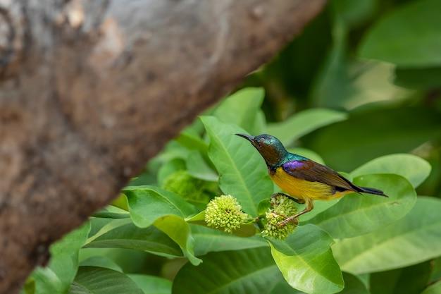 Sunbird brown-throated colorido na árvore da flor no jardim