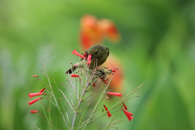 Sunbird-de-barriga-amarela animal alimentando o néctar de flores pequenas de fogo de artifício