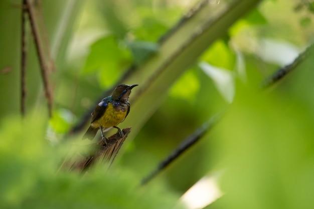 Sunbird-de-garganta-marrom, sunbird de plumagem-garganta, pássaro no ninho