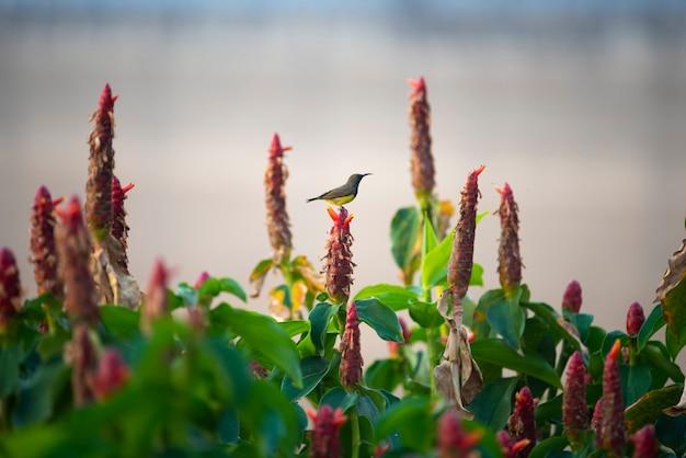 Sunbird-de-garganta-marrom, sunbird de plumagem-throated, pássaro