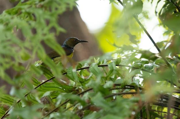 Sunbird-de-garganta-marrom