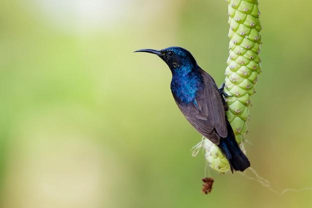 Sunbird masculino roxo em um galho