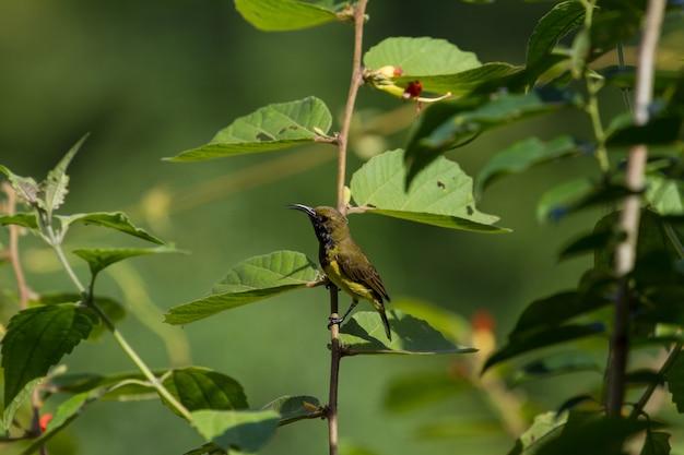 Sunbird olive-suportado, sunbird amarelo-inchado em uma árvore