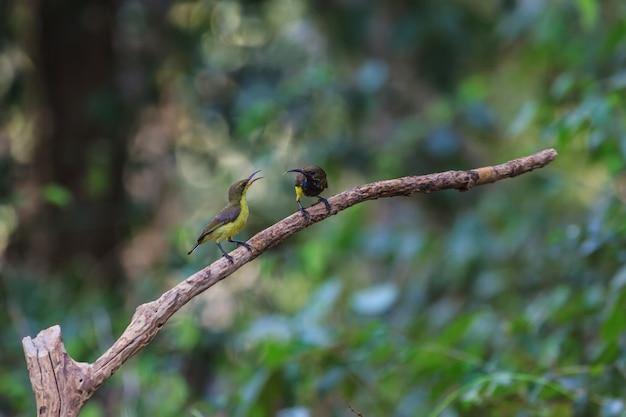 Sunbird olive-suportado, sunbird yellow-bellied em uma árvore