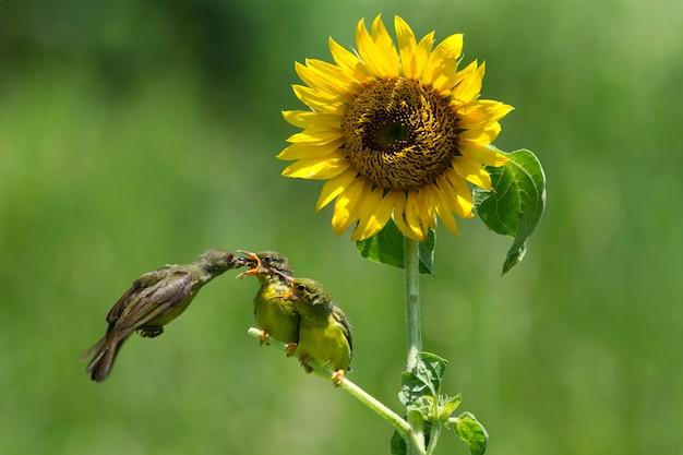 Sunbirds alimentando a criança
