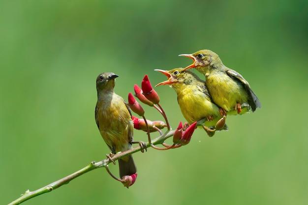 Sunbirds olivebacked alimentando a criança cinnyris jugularis