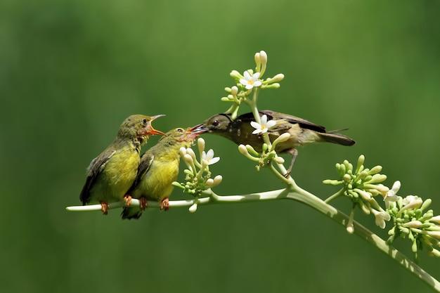 Sunbirds olivebacked alimentando a criança