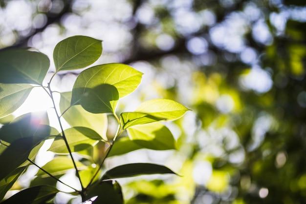 Sunflare em folhas verdes na natureza