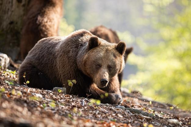 Sunkissed urso pardo adulto deitado na floresta de folhas