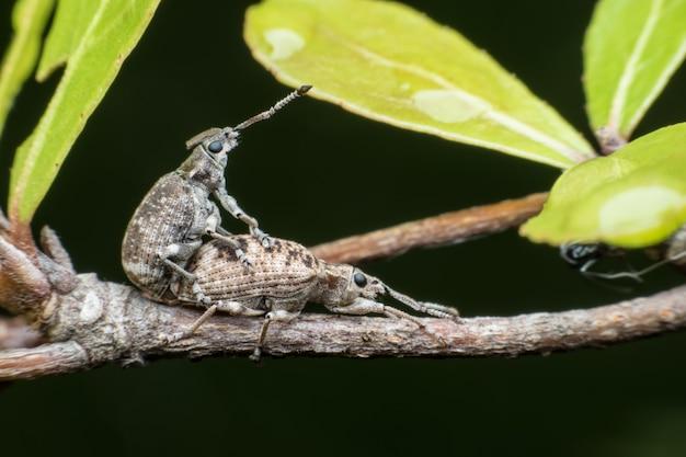 Super macro weevils acasalamento