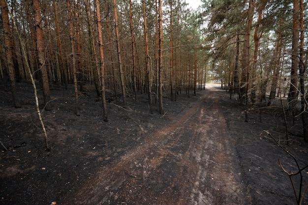 Superfície carbonizada de coníferas da floresta