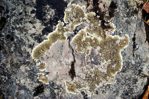 Superfície de uma pedra coberta com líquen de diferentes tons