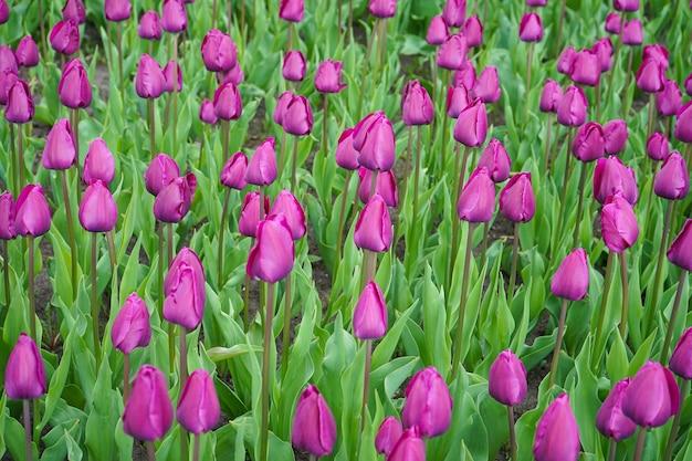 Superfície floral. tulipas florescendo roxas no canteiro de flores.