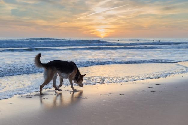 Surfista de cães em antecipação.