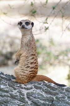 Suricata de suricata ou suricata suricatta olhando para fora. carnívoro pequeno pertencente à família dos mangustos - herpestidae. animal nativo africano.