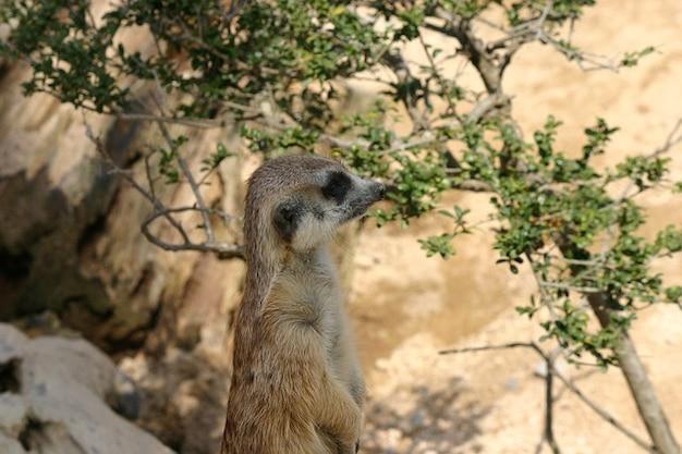 Suricata suricata meerkat zoológico