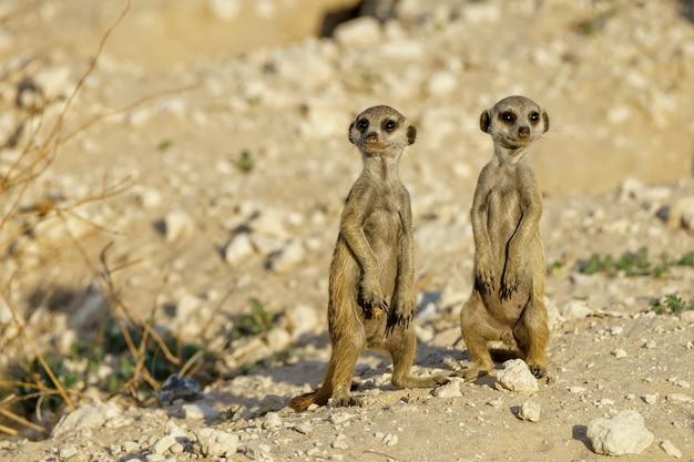 Suricatas fofas de suricat em uma área deserta durante o dia