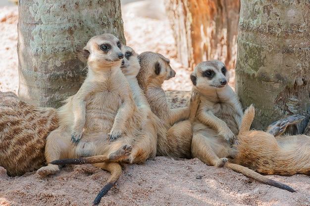 Suricate ou meerkat família