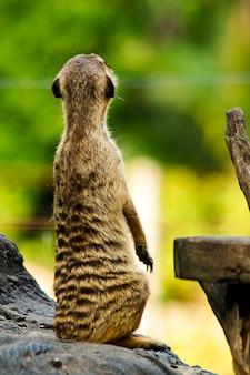 Suricatta do suricata no jardim zoológico que olha algo.