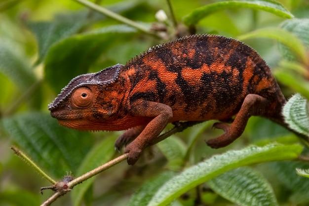 Surpreendentemente colorido chameleon parson's. endêmico de madagascar em belas cores laranja madagascar. áfrica