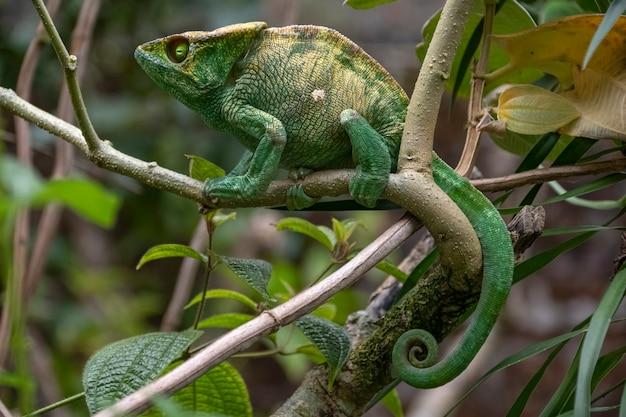 Surpreendentemente colorido chameleon parson's. endêmico de madagascar em belas cores verdes madagascar. áfrica