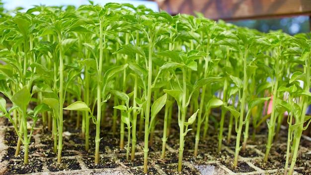 Surtos de brotos em viveiro em solanaceae