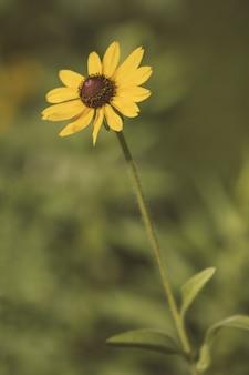 Susan de olhos pretos em um jardim cercado por vegetação sob a luz solar com um fundo desfocado