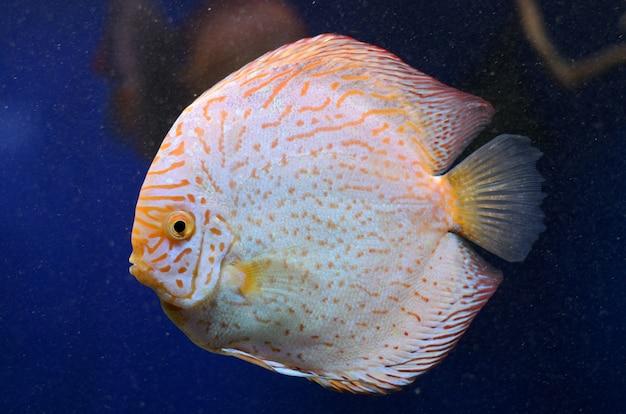 Symphysodon discus de água doce brilhante, peixe do rio de amazon.