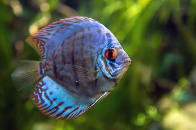 Symphysodon discus em um aquário
