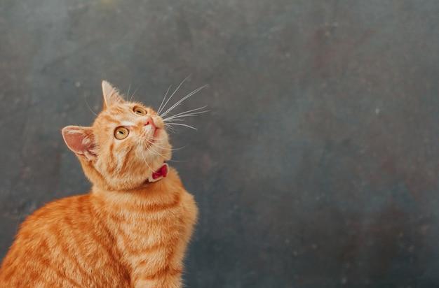 Tabby gatinho gengibre em um cinza escuro
