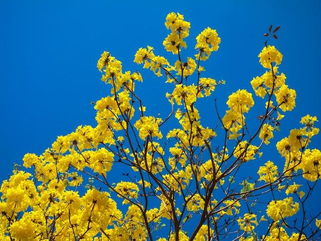 Tabebuia chrysanth ou árvore de flor amarela