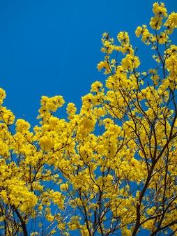 Tabebuia chrysanth ou florescendo árvore de flor amarela no fundo do céu azul claro