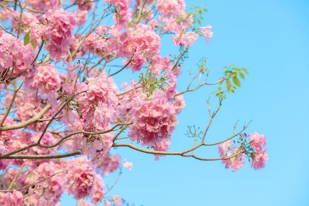 Tabebuia rosea é uma árvore neotropical de flor rosa e céu azul
