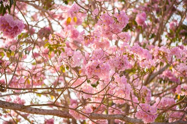 Tabebuia rosea é uma árvore neotropical de flor rosa