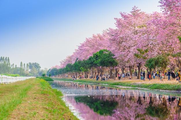 Tabebuia rosea é uma árvore neotropical pink flower em nakhon pathom, tailândia em 22 de fevereiro de 2016